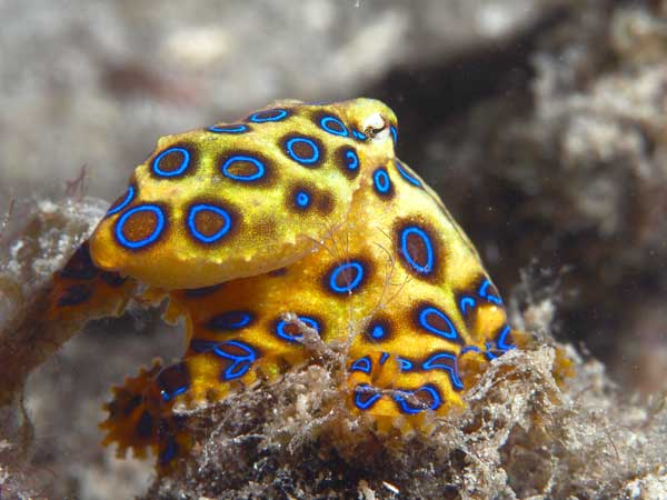 Blue Ringed Octopus The Venomous hunting