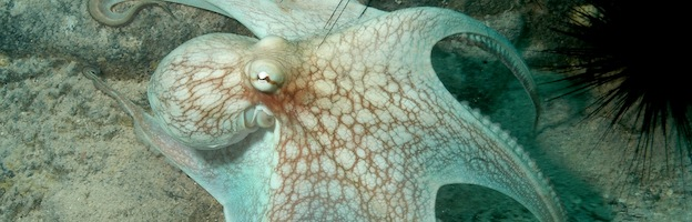 Caribbean reef octopus cover