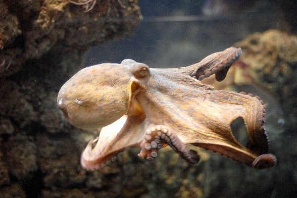 Common Octopus At Aquarium