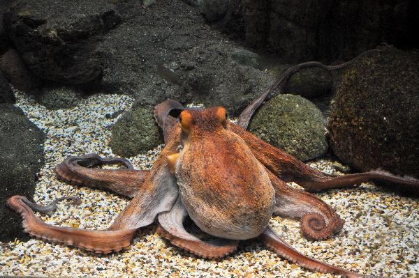 Large Octopus Vulgaris