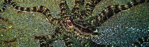 Mimic Octopus Bernd Copia