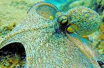 Octopus Showing Its Ability to Camouflage