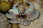 Octopus With Brown Spots