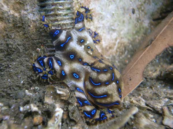 Blue Ringed Octopus The Venomous