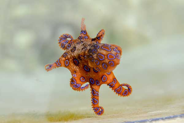 Small Blue Ringed Octopus The Venomous