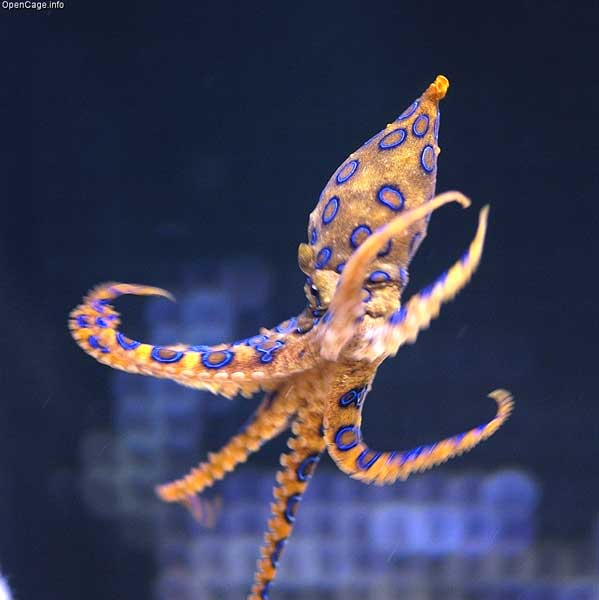 beautiful blue ringed octopus