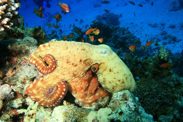 Where do octopuses live?