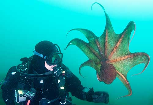 Giant Octopus and a diver