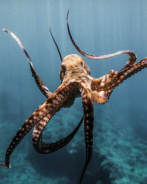 Octopus with arms