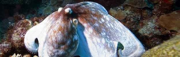 Common Octopus, Bonaire