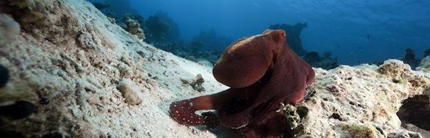 Common octopus in the ocean